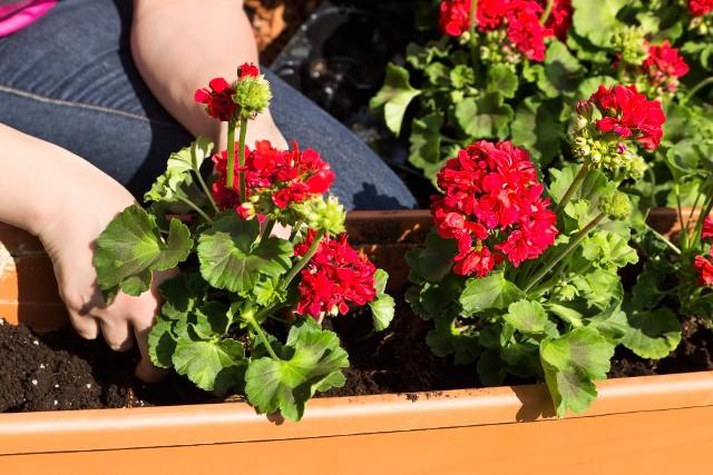 Przy sadzeniu roślin w doniczkach i skrzynkach należy pamiętać, że rośliny będą się rozrastać - należy więc zachować około 15 cm odstępu