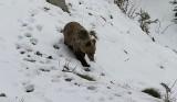 Podhale. Bliskie spotkanie z niedźwiedzią rodziną na asfaltowej drodze