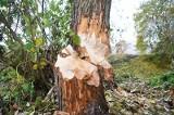Al. 1000-lecia Państwa Polskiego. Bobry niszczą drzewa wzdłuż rzeki Białej