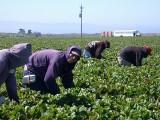 Tarcza Antykryzysowa 3.0: Rolnicy będą mogli zatrudniać Ukraińców do pracy sezonowej bez konieczności uzyskania zezwolenia