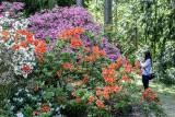 W Kórniku zakwitły azalie i różaneczniki. Nie zdążyłeś zobaczyć kwiatów? Nic straconego. Mamy zdjęcia!