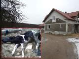 Zambrzyce Króle. 24-latka zagłodziła krowy. Akt oskarżenia w sądzie [zdjęcia]