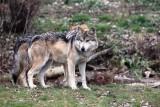 Wilki grasują w gminie Lipie. Wójt Bożena Wieloch ostrzega mieszkańców przed wilkami