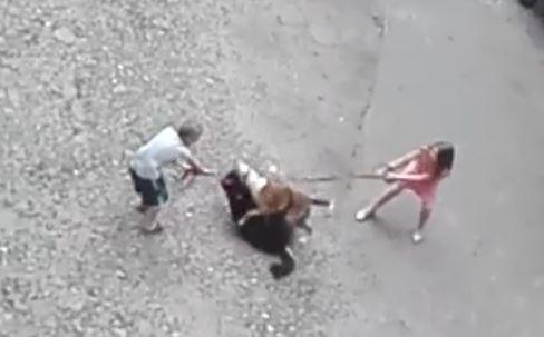 Zajście, do którego doszło 16 czerwca,  zostało zarejestrowane  smartfonem. Nagranie zaczyna się od widoku dwóch zwartych ze sobą psów, trzymanych na smyczach przez dzieci:chłopca i dziewczynkę. Amstaff wpija się zębami w szyję owczarka leżącego pod nim na grzbiecie. Dzieci nie są w stanie rozdzielić zwierząt.Podbiega do nich młody mężczyzna w szortach bez koszuli, który łapie smycz amstaffa i usiłuje odciągnąć go od owczarka. Ciągnie z całej siły, ale amstaff wpity zębami  w gardło owczarka nie puszcza. Dopiero gdy podbiega drugi mężczyzna psy udaje się rozdzielić. Owczarek leży już jednak bez życia. Słychać przekleństwa, wrzaski, płacz przerażonych dzieci...Po tym zajściu na lokatorów padł strach zwłaszcza, że Rex ma już wśród nich zszarganą opinię. Ugryzł co najmniej dwie osoby, atakował też inne psy (mówi się, że zagryzł jeszcze jednego, ale trudno to potwierdzić), rzucał się na ludzi a nawet na wózek z 6-tygodniowym niemowlęciem, córeczką sąsiadki.– Byłam przerażona– mówi mama dziewczynki. – Nie wychodze już  na podwórko zanim się nie rozejrzę, czy ten Reksio gdzieś nie biega.– Moją koleżankę ugryzł w rękę. Boimy się go – mówi mieszkająca w kamienicy dziewczynka. Jej siostra energicznie przytakuje głową.FILM i więcej informacji KLIKNIJ DALEJ