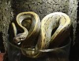 Ile za egzotycznego pupila? Agama, kameleon, czy wąż boa? W łódzkich sklepach zoologicznych wydamy majątek na egzotycznego pupila.