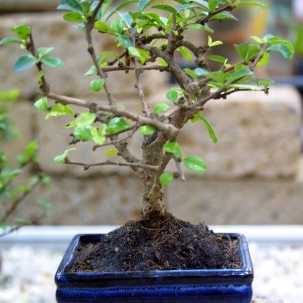 Bonsai Drzewko Dla Cierpliwych Echo Dnia świętokrzyskie