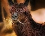 Lekarstwo na koronawirusa. Czy piękna lama Winter poradzi sobie z chorobą, jak to zrobiła z SARS i MERS?