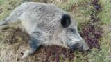 Dzik uciekł z zagrody i upił się u rolnika. Pijany dzik Chrumek trzeźwiał w Kole