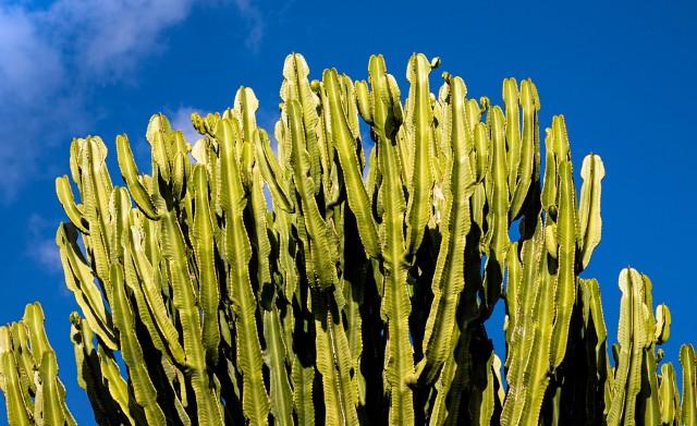 """Niektóre wilczomlecze przypominają kaktusy, inne uprawiamy ze względu na kolorowe """"kwiaty"""". Zobacz najładniejsze gatunki."""