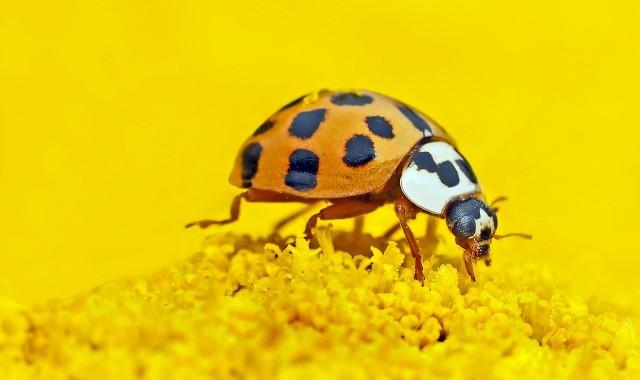 Biedronka azjatycka to pochodzący z Azji gatunek chrząszcza z rodziny biedronkowatych (Coccinellidae). Przez około 20 lat rozprzestrzenił się w obydwu Amerykach i Europie.