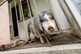 Świnia na balkonie w bloku w Bydgoszczy, a spółdzielnia mieszkaniowa bezradna