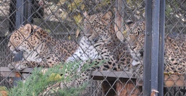 W środę wyjeżdża ostatnia chińska pantera. Łódzkie zoo rezygnuje z hodowli tego gatunku na rzecz jaguarów i pum.
