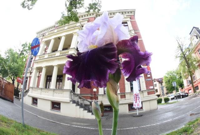 """Irys """"Gazeta Lubuska"""" zakwitł już przed siedzibą zielonogórskiej redakcji naszego dziennika."""