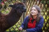 Urodziny Gabrysi, alpaki z gdańskiego zoo [WIDEO]