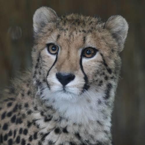 Do opolskiego ogrodu zoologicznego przyjechala mloda samica geparda