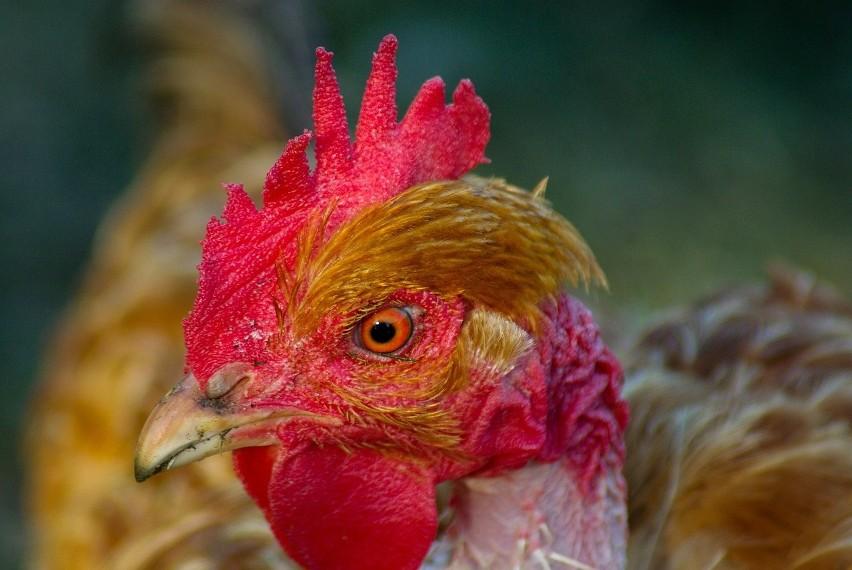 Drób podrożeje? Przez ptasią grypę, wycofują się hodowcy, którzy nie są w stanie udźwignąć obciążeń finansowych