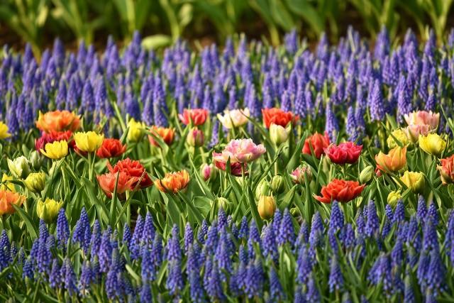 Jeśli chcemy, aby wiosna była kolorowa i pełna kwiatów, musimy posadzić je jesienią.