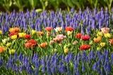 Te kwiaty posadź jesienią, a rozkwitną wiosną. Polecamy piękne i kolorowe wiosenne kwiaty cebulowe