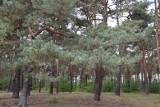 Nowa Sól. Będzie lasek, czy park rekreacyjny? - To morderstwo drzew, które nie mówią, ale żyją - uważa Janusz Kot. Mieszkańcy będą walczyć