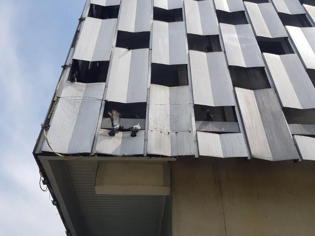 """Gołębie zagnieździły się na budynku """"Centralu"""". Umierają pod źle skonstruowaną fasadą budynku. Okolice domu handlowego pokryte są również ptasimi odchodami."""