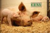 Zarobek na świniach był kiepski. Ceny produktów rolnych na początku 2018