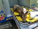 Zabłąkana sarna w centrum Radomia. Przerażone zwierzę trzeba było uśpić, żeby bezpiecznie odwieźć do lasu. Interweniowała Straż Miejska