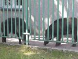 Dzikie zwierzęta w Białymstoku! Łosie, lisy, kuny, dziki, a nawet żubry. Coraz częściej lubią sobie wpaść do miasta [05.06.2020]