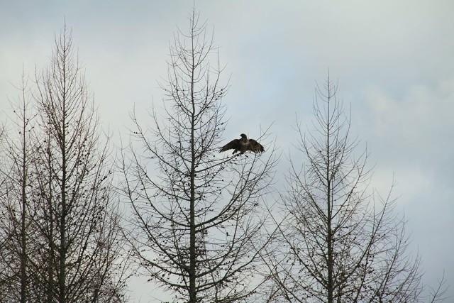 W styczniu br. leśniczy z leśnictwa w Zielonej Chocinie znalazł wycieńczonego myszołowa. Ptak trafił do Ośrodka Rehabilitacji Ptaków Drapieżnych Dżawat w Warcinie i tam przez kilka tygodni dochodził do siebie. Niedawno myszołów został wypuszczony do lasu. Wrócił do pełni sił.