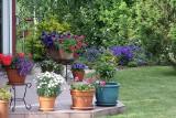 Kwiaty na taras i balkon: Pelargonia z bakopą, surfinie, złocień, oleander. Kwiaty w pojemnikach, doniczkach i skrzynkach 29.07.2021