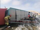 Przewróciła się ciężarówka przewożąca świnie. Autostrada A1 jest zablokowana. Wypadek tira koło Kutna