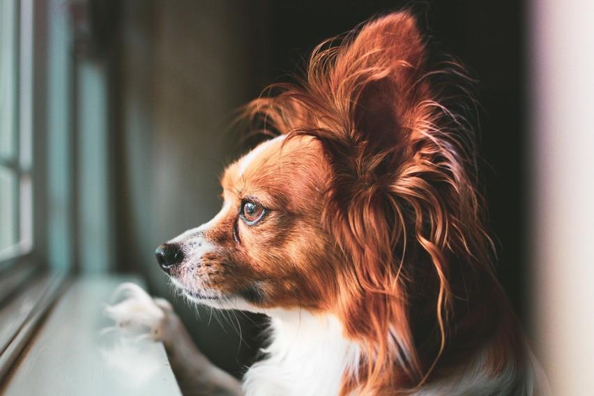 Papillon to inteligentny, pełen energii pies o wesołym...