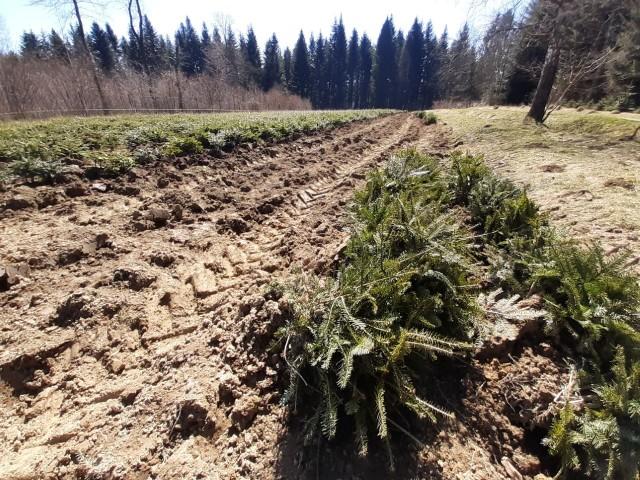 Rozpoczęło się zalesianie na Podkarpaciu. Młody las wyrośnie na 1,5 tys. hektarów