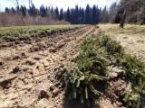Rozpoczęło się zalesianie na terenach Regionalnej Dyrekcji Lasów Państowych w Krośnie. Młody las wyrośnie na 1,5 tys. hektarów [ZDJĘCIA]