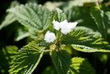 Te popularne zioła mogą być niebezpieczne. Na te rośliny trzeba uważać! [lista - 12.06]