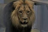 ZOO w Opolu ma lwy! To Atos i Portos - dwaj bracia. Lwy wróciły do opolskiego ogrodu po blisko 25 latach