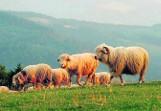 Beskidy: Pół miliona złotych na rozwój pasterstwa i ochronę hal w górach