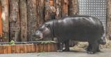 Zoo w Oliwie. Nowy wybieg i pawilon dla rodziny hipopotamów karłowatych