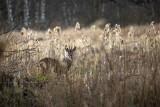 Bójka samców sarny na wrocławskim Rakowcu. Zobacz wideo