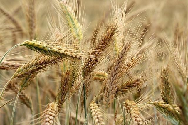 """Susza rolnicza pod koniec czerwca została stwierdzona na terenie 750 gmin w Polsce. """"Dobrze, gdyby teraz popadało"""", mówią rolnicy, patrząc na kwitnące ziemniaki i rosnącą kukurydzę czy buraki. Pogodne niebo przyda się jednak tym, którzy chcą już młócić ozimy jęczmień czy groch."""
