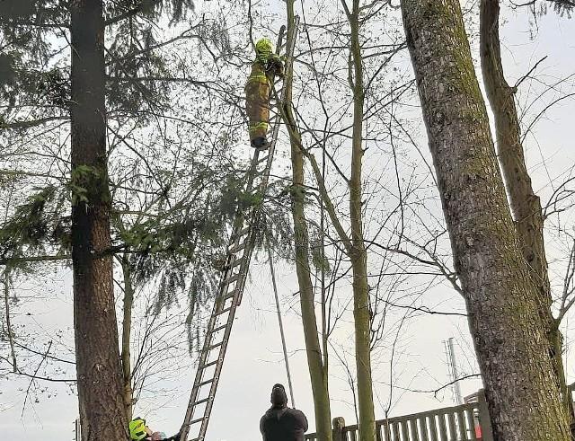 Było późne popołudnie (13 kwietnia), kiedy strażacy ze skwierzyńskiej OSP otrzymali pilne wezwanie. Tym razem pomocy potrzebował maleńki kotek, który zawędrował na sam czubek wysokiego drzewa na ul. Dworcowej. Maleństwo tak się… zagalopowało, że utkwiło na samym szczecie drzewa. No i wtedy, jak na amerykańskim westernie, z pobliskiej strażnicy nadciągnęła z odsieczą kawaleria, znaczy się miejscowi druhowie. I po akcji na wysokościach kotka uratowali, choć mogło być różnie, wiadomo, 13-go.Wideo: Pożar stodoły w Borowcu. Strażacy ratowali dom