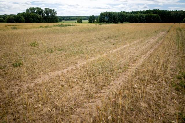 Tak w lipcu wyglądało zboże na jednej z plantacji w gminie Juchnowiec Kościelny
