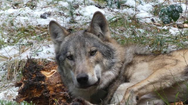 Bartek, wilk z Puszczy Świętokrzyskiej, założył rodzinę i doczekał się potomstwa.
