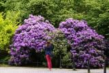 Kwitną azalie i rododendrony. Zobacz, gdzie można je podziwiać. Te kolekcje robią wrażenie!  [ZDJĘCIA]