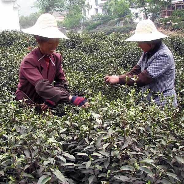 We wiosce Shihu, niedaleko Szanghaju, kobiety zbierają herbatę ręcznie, odrywając z końcówek gałęzi krzewu najmniejsze listki.