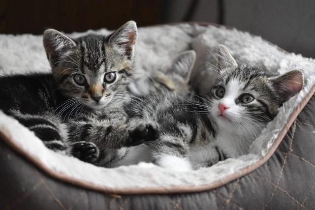 Właścicieli kotów długo nie trzeba przekonywać z korzyści posiadania futrzanego pupila. Koty są samodzielne, wdzięczne i niezwykle towarzyskie.Ich mruczenie jest nie tylko przyjemne dla ucha, ale jak udowadniają naukowcy, ma właściwości lecznicze. Koty są niezbędne w jednej z metod zooterapii - felinoterapii. Jakie jeszcze zalety dla zdrowia płyną z posiadania kota? Szczegóły na kolejnych slajdach naszej galerii.