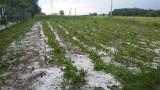 Igołomia-Wawrzeńczyce. Wielkie straty po gradobiciu. Plony uszkodzone na polach obejmujących prawie 1400 hektarów