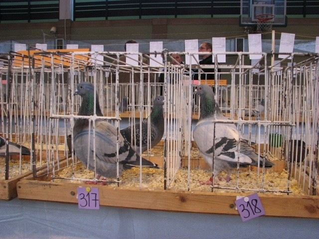 Wystawa golebi pocztowych w Ostrowi Mazowieckiej - 1 dzien