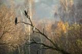 Inwazja kormoranów na Podkarpacie. Szkody, jakie powodują, liczone są w milionach złotych. Trwa ich odstrzał
