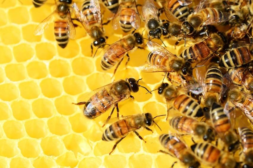Holandia: naukowcom udało się wyszkolić pszczoły, które z dużą precyzją wykrywają koronawirusa