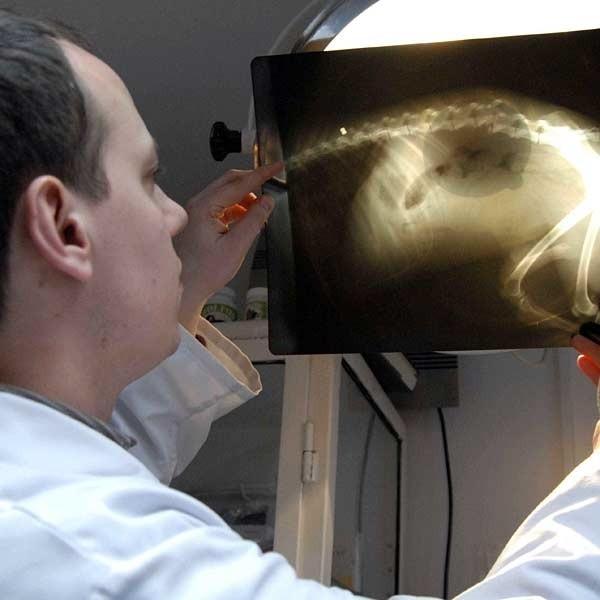 - Na zdjęciu rentgenowskim doskonale widać, że psu złamano kręgosłup - mówi lek. wet. Radosław Fedaczyński.